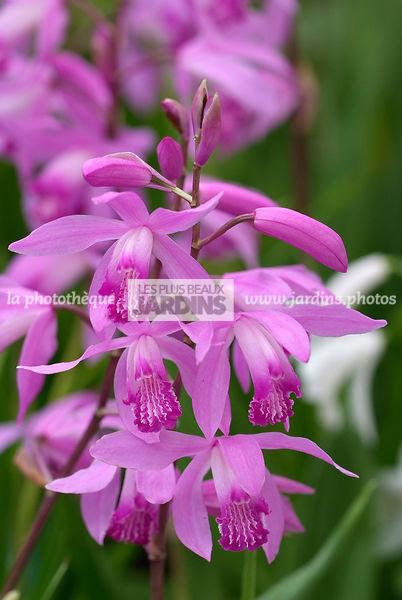 la photothèque | LES PLUS BEAUX JARDINS | Bletilla striata (orchidée ...
