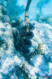 Woman reaching giant clam shell underwater, Cook Islands