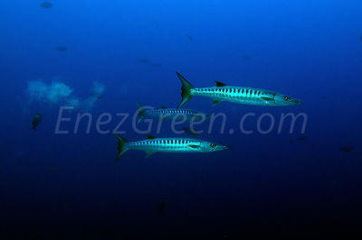 Blackfin Barracuda Rangiroa