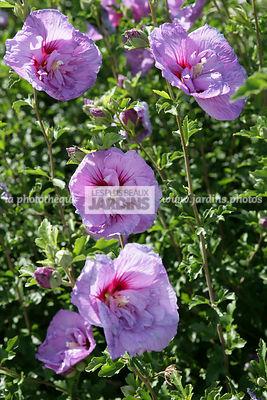 amazing hibiscus syriacus ulavender chiffonu notwoodone altha hibiscus de jardin with hibiscus. Black Bedroom Furniture Sets. Home Design Ideas