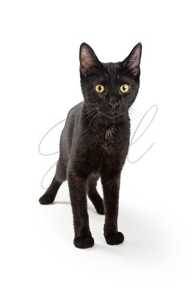 Black Kitten Yellow Eyes Standing Isolated