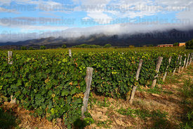 Vineyards in Concepción valley , near Tarija , Bolivia
