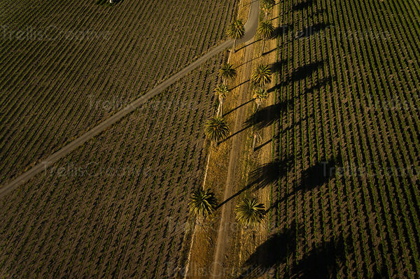 Aerial view of a palm treelined dirt road in a vineyard, Sonoma Valley