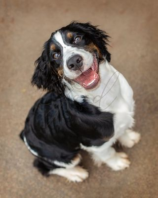 Happy English Springer Spaniel Puppy Looking Up