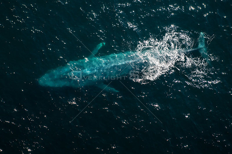 Aerial view of Blue whale (Balaenoptera musculus) at surface, Endangered species, Sea of Cortez, Baja California, Mexico