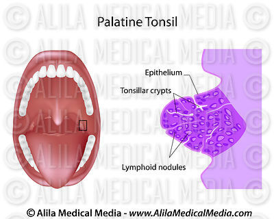 Palatine tonsil section
