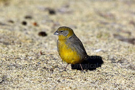 Adult female bright-rumped yellow finch (Sicalis uropygialis)