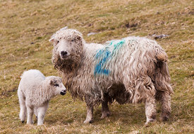 Long-haired sheep with lamb at Brushfield
