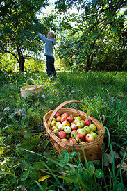 Picking up Organic Apples