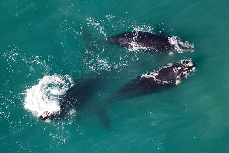 Southern right whales (Eubalaena australis) aerial view of three adullts engaged in social activity, photographed with the permission of the Department of Environmental Affairs, South Africa.