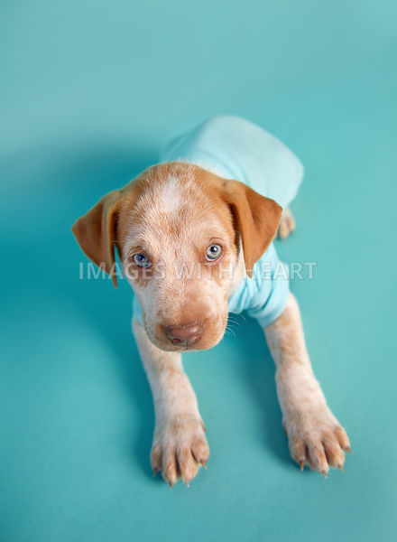 white and tan puppy with blue eyes in blue onesie on turquoise paper.