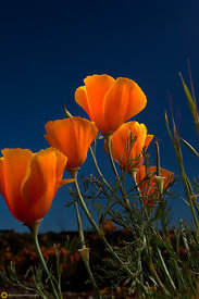 California Poppies #19
