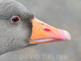Greylag Goose Anser anser portrait of head North Norfolk February