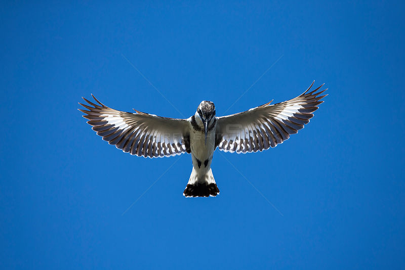 Pied kingfisher (Ceryle rudis) flying overhead, looking for fish in the Chobe River, Chobe National Park, Botswana, October