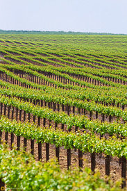 Vineyards East of Modesto #4