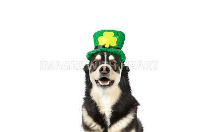 husky wearing saint patrick's day hat