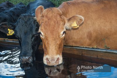 CATTLE 85A - Cows drinking