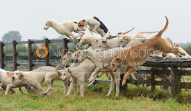 Cottesmore fox hounds jumping a hunt jump - The Cottesmore Hunt at Marefield 26/8