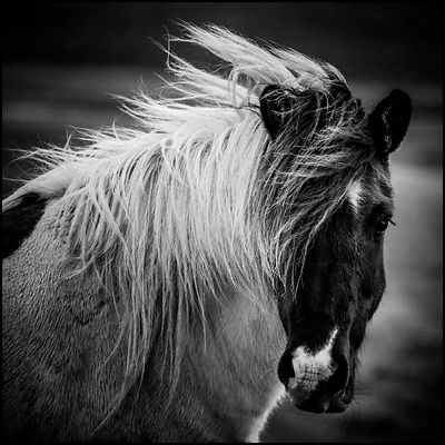 Profile of a piebald wild horse in Iceland 2015 © Laurent Baheux