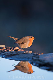Robin Erithacus rubecula at drinking pool Extremadura Spain