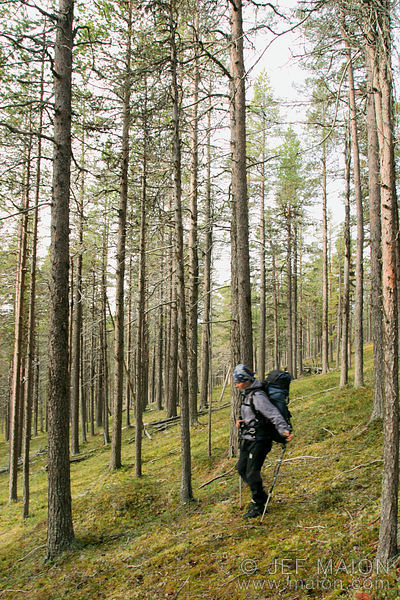Hiker in pine tree forest