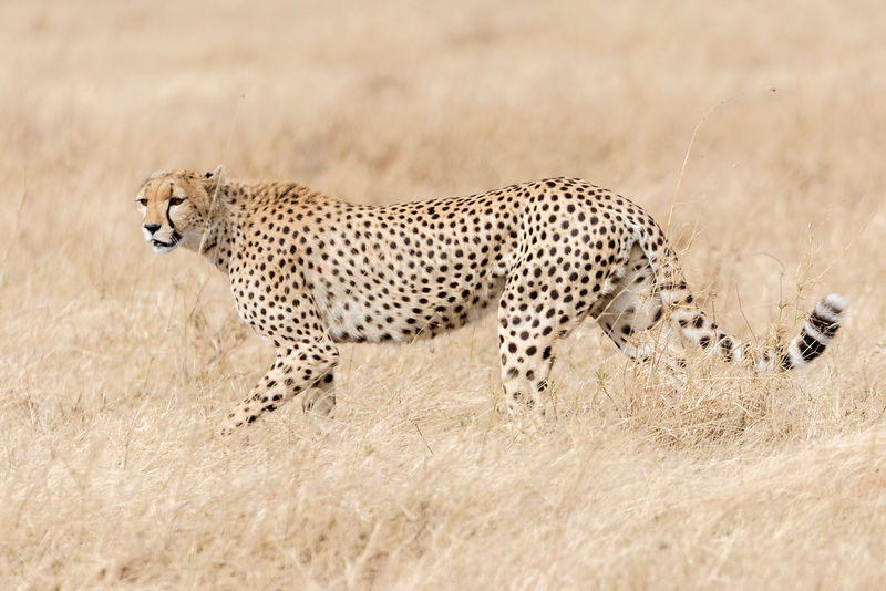 Portrait of a Cheetah on the Serengeti Grassland