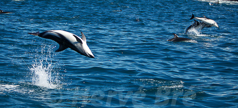 Dusky dolphins New-Zealand