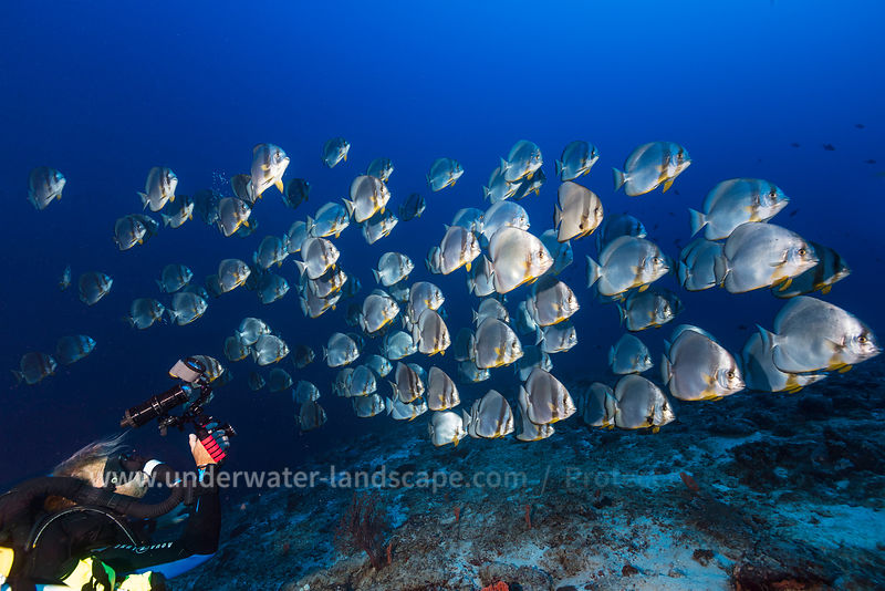 Batfish schoal - Underwater photography