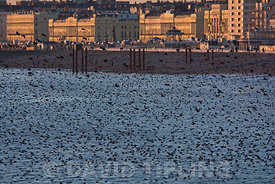 Starlings Sturnus vulgarus arriving at roost on Brighton Pier Sussex, winter
