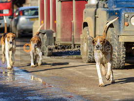 Belvoir hounds at second horses - The Belvoir at Burton Pedwardine