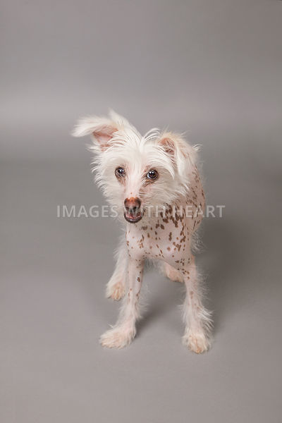 Small dog full body Chinese Crested on gray background