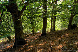 Beech tree forest