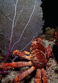Little Cayman, crab and seafan underwater