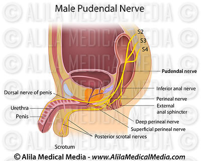Male Pudendal Nerve.