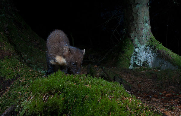 A Pine Marten sniffing the ground for traces of food