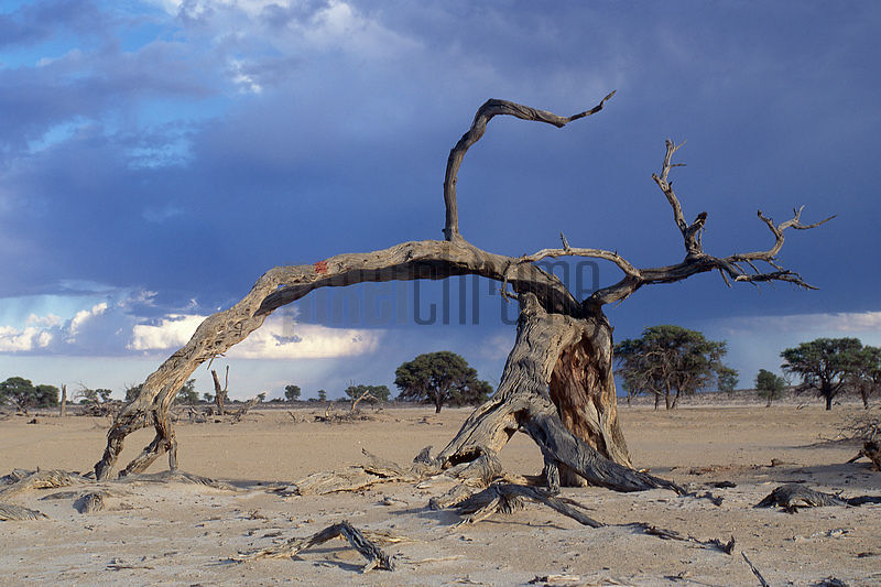 Dead Camelthorn Tree