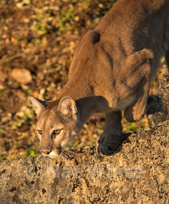 Cougar-Triple_D_wildlife-22017-384-July_31_2017