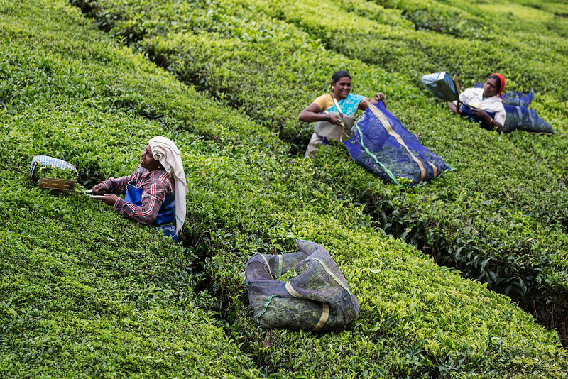 Tea Pickers Cutting Leaves for Black Tea Production