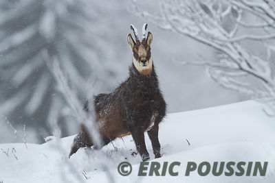 CHAMOIS photos
