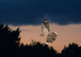 Nightjar Caprimulgus europaeus male in display flight North Norfolk June