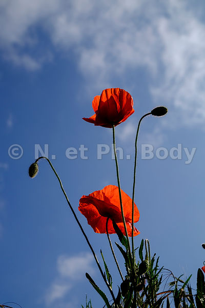 COQUELICOTS, FRANCE//POPPIES, FRANCE