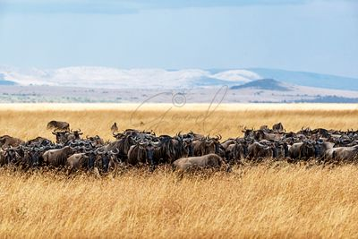Herd of Buffalo in Tall Kenya Grass
