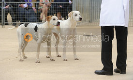 Judging of the bitch hounds - Cottesmore Hunt Puppy Show 2013
