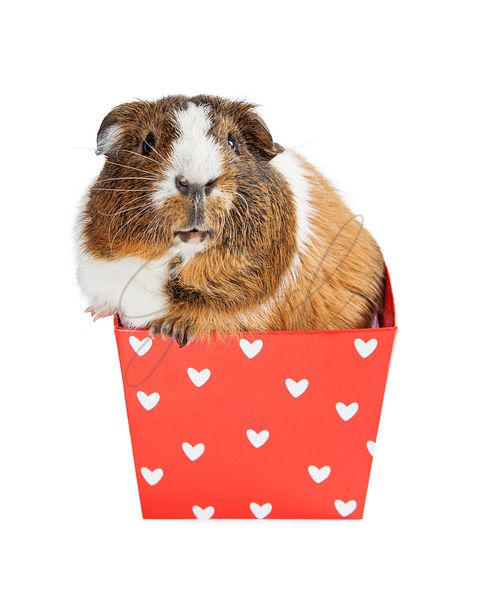 Guinea Pig in Valentine Heart Box