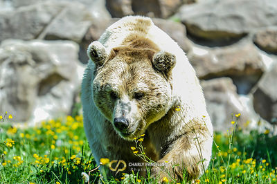 Syrian brown bear