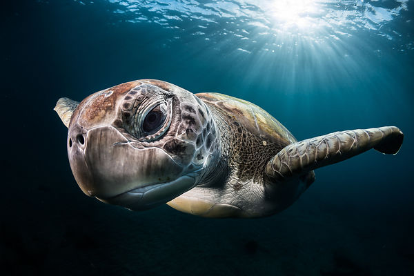 Green turtle in Tenerife,