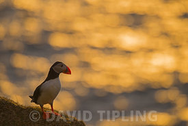 Puffin Fratercula arctica on cliff top at sunset Hermaness Unst Shetland April