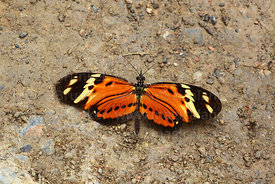 Eresia species butterfly