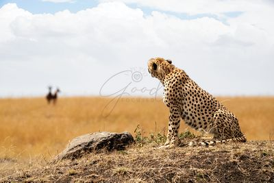 Cheetah looking at Prey in Background