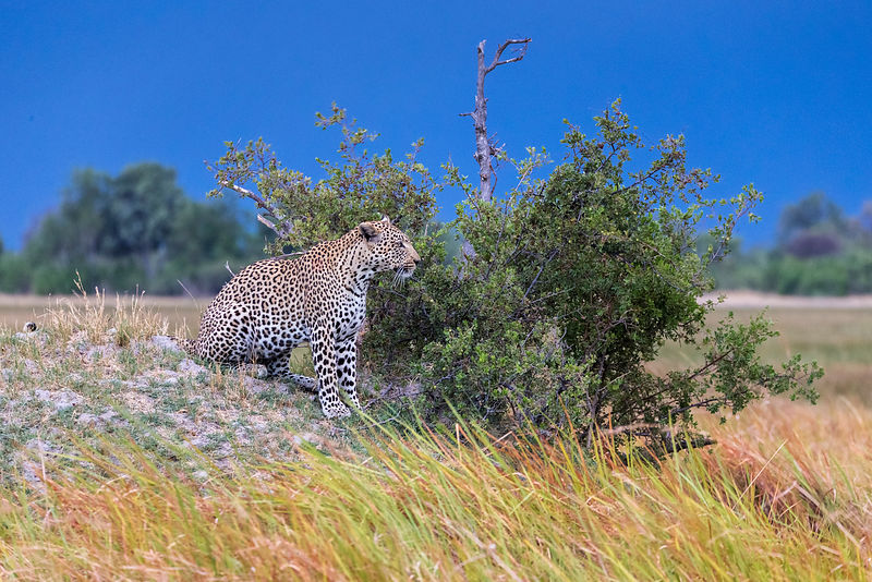 Leopard on an Anthill with Approaching Thunderstorm in the Background